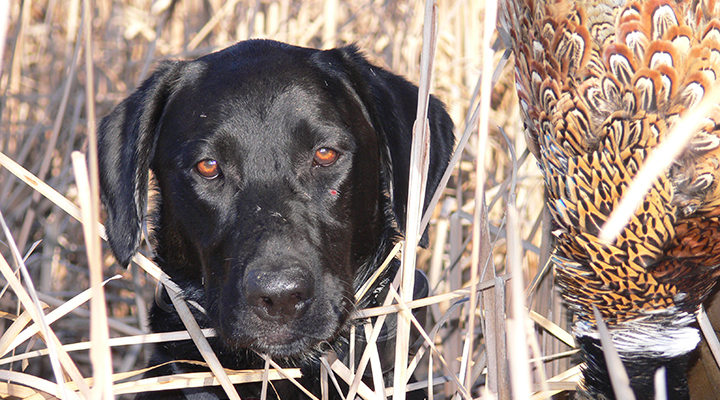 A four-legged partner can make your hunt a success. Keep your pooch's pearly whites in shape this hunting season: Bird dogs, like labs, retrievers and pointers are generally not prone to dental problems, but periodontal disease is common in many pets.  Keeping a close eye on their mouth will keep their game on point. Follow